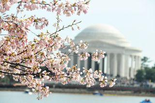 1cherry blossom2