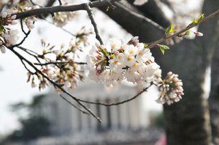 1cherry blossom
